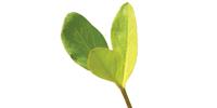 Bobrek trójlistny liść