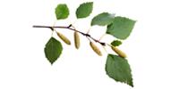 Brzoza brodawkowata liść