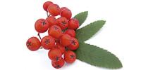 Owoc jarzębiny